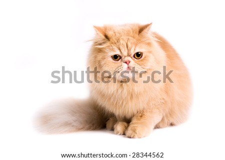Portrait of a persian cat on a white background. Studio shot.