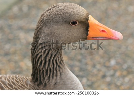 Portrait of a pink footed goose - stock photo