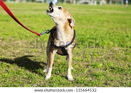 Portrait of a Pinscher dog, sitting on the grass at the park on a sunny day, looking up and barking angrily. - stock photo