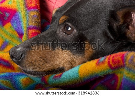 Portrait of a pinscher resting at home - stock photo