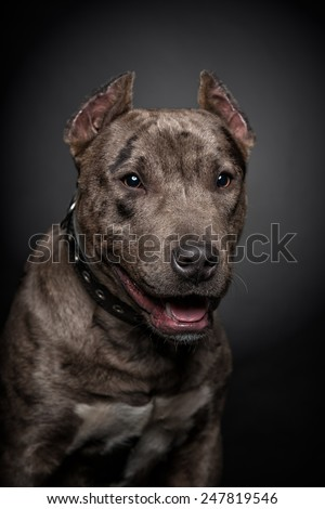 Portrait of a pitbull on a black background - stock photo