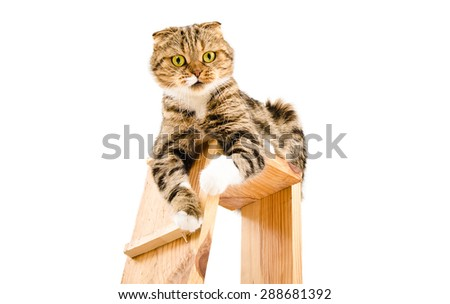 Portrait of a playful cat Scottish Fold sitting on a scratching post isolated on white background - stock photo