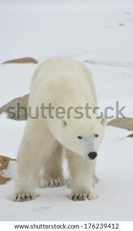 Portrait of a polar bear on snowwhite background - stock photo