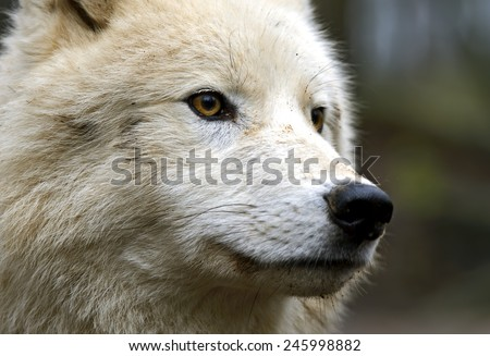 Portrait of a Polar Wolf - stock photo