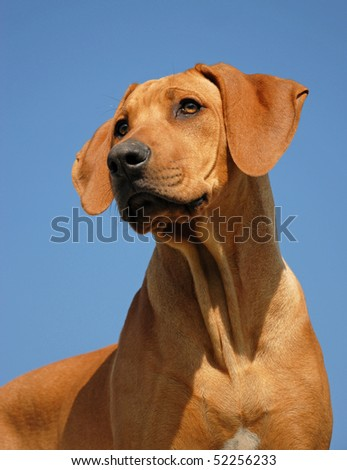 portrait of a puppy purebred Rhodesian Ridgeback in a blue sky. focus on the eyes - stock photo