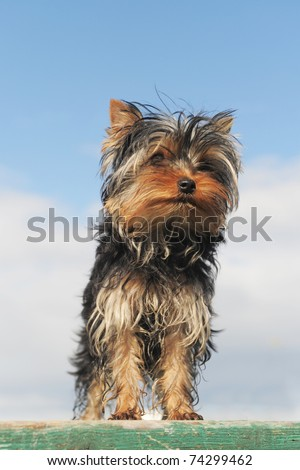 portrait of a puppy purebred yorkshire terrier on a blue sky
