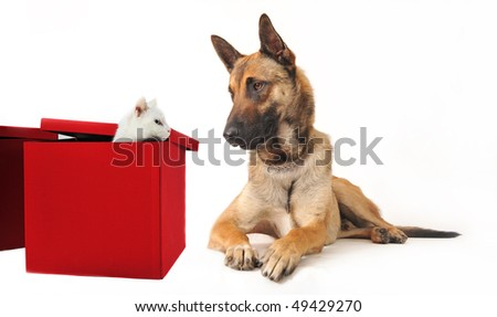 portrait of a purebred belgian sheepdog malinois and white kitten - stock photo