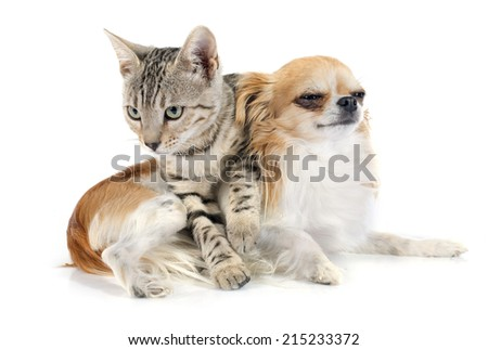 portrait of a purebred  bengal cat and a chihuahua on a white background