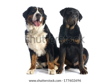 portrait of a purebred bernese mountain dog and rottweiler in front of white background