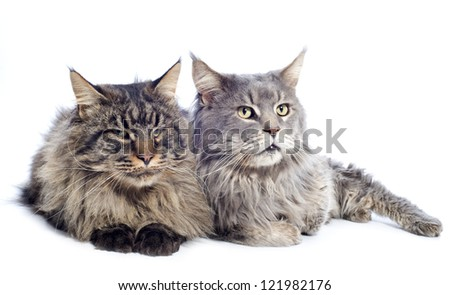 portrait of a purebred  maine coon cats on a white background