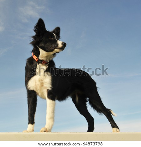 portrait of a purebred puppy border collie on a blue sky - stock photo
