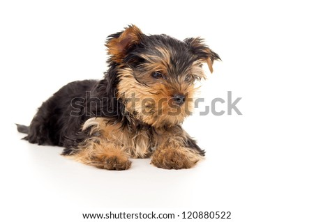portrait of a purebred puppy yorkshire terrier isolated on white background