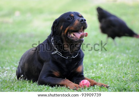 Purebred Rottweiler Dog Nursing Young Stock Foto 2815129 ...