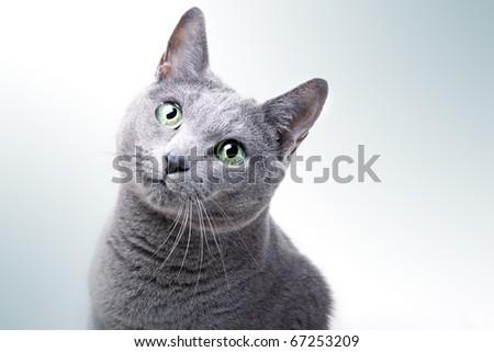 Portrait of a purebred Russian Blue Cat - stock photo