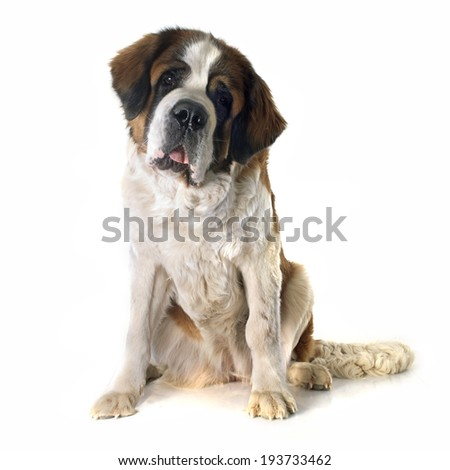 portrait of a purebred Saint Bernard in front of white background - stock photo