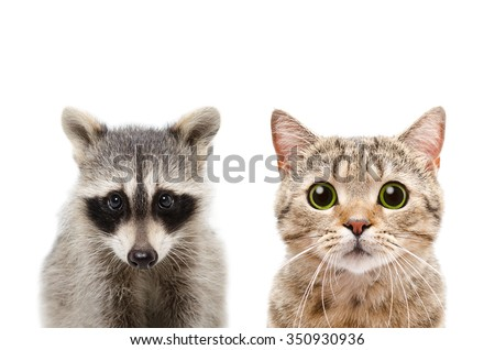 Portrait of a raccoon and cat Scottish Straight, closeup, isolated on white background - stock photo