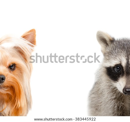 Portrait of a raccoon and Yorkshire Terrier isolated on a white background - stock photo