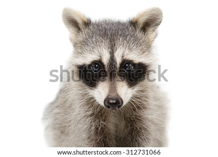 Portrait of a raccoon closeup isolated on white background - stock photo