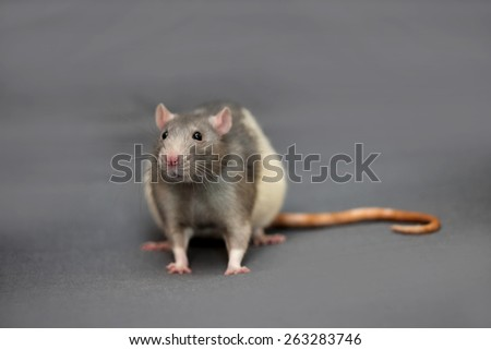 Portrait of a rat - stock photo