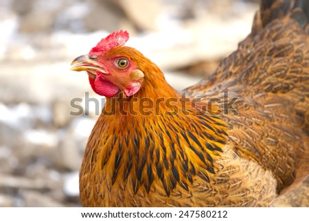 Portrait of a red chicken in rural - stock photo