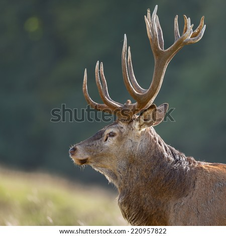 Portrait of a red deer