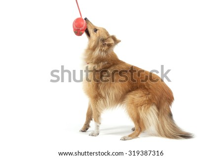 Portrait of a red dog Shetland Sheepdog ports playing with a red toy on a white background. - stock photo