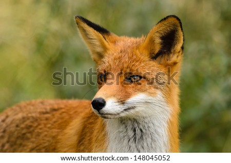 Portrait of a red fox (Vulpes vulpes) on a green background.
