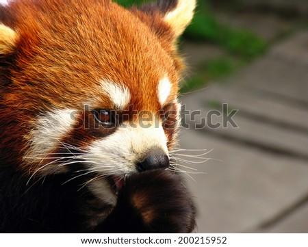portrait of a red panda (Ailurus fulgens)  - stock photo