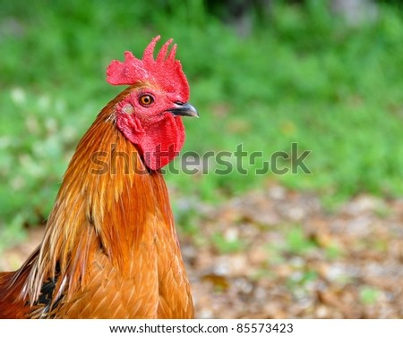 Portrait Of A Red Rooster - stock photo