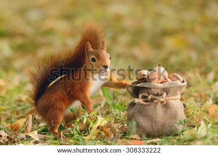 Portrait of a red squirrel holding a bag with nuts - stock photo
