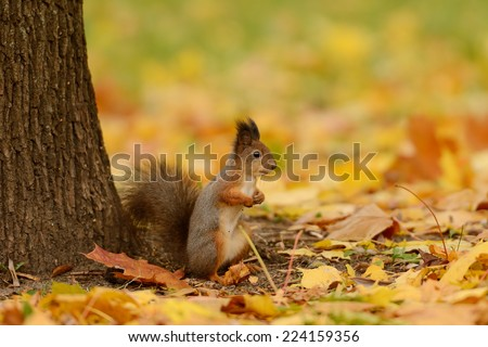 Portrait of a red squirrel sitting on a grass - stock photo