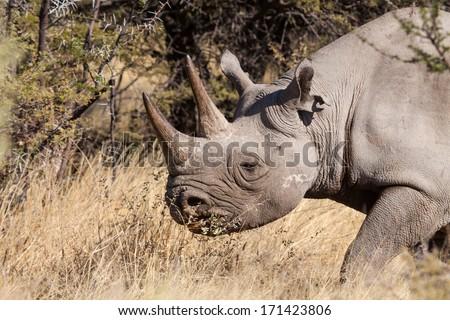 portrait of a rhinoceros in the bush, Etosha, Namibia, Africa - stock photo