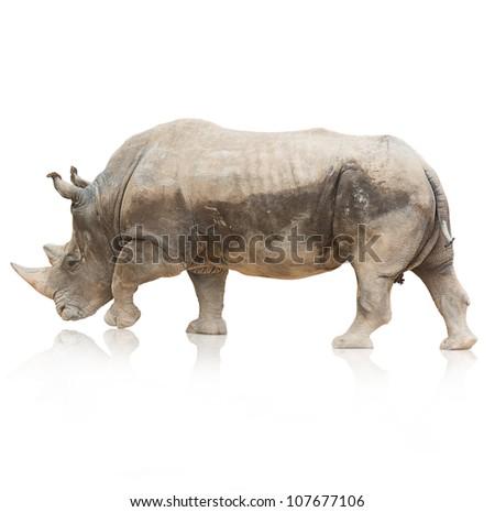 Portrait of a rhinoceros on white background - stock photo