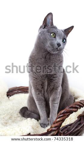 Portrait of a Russian Ble Cat on Lambskin in Wicker Basket - stock photo