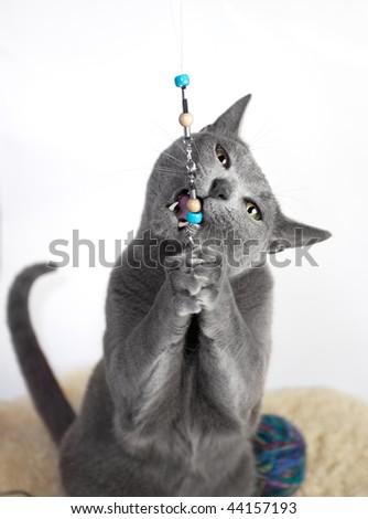 Portrait of a Russian Blue Cat, studio shot, white background - stock photo