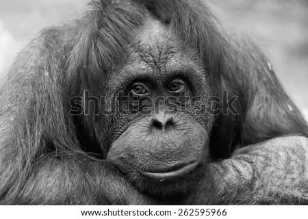 Portrait of a sad female of an orangutan, monochrome - stock photo