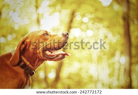 portrait of a sad rhodesian ridgeback pointer dog in autumn nature - stock photo