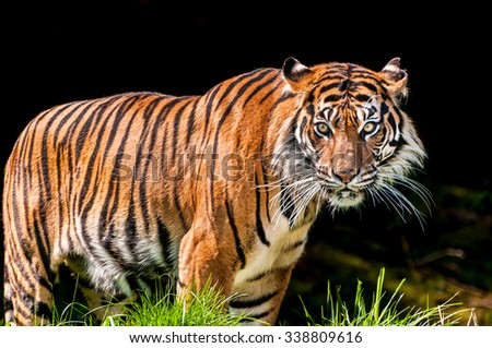 Portrait of a scary tiger over dark background with vicious eyes looking intensely towards the camera - stock photo
