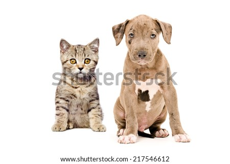 Portrait of a Scottish Straight kitten and pitbull puppy isolated on white background