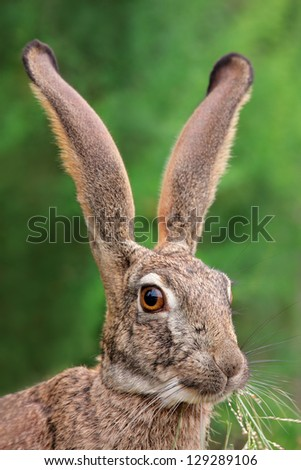 Portrait of a scrub hare (Lepus saxatilis) with long ears and large eyes, southern Africa - stock photo