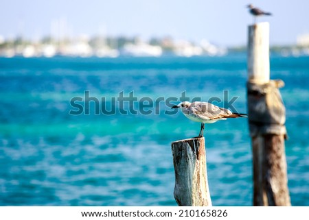 Portrait of a seagull against the background of caribbean sea - stock photo