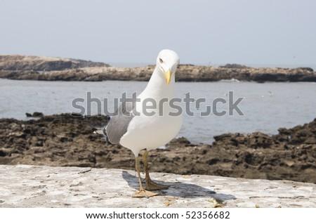 Portrait of a seagull Essaouira Morocco - stock photo