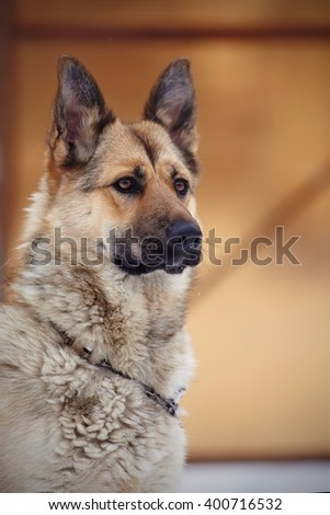 Portrait of a serious dog of breed sheep-dog. - stock photo