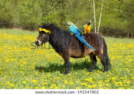 Portrait of a Shetland pony with two parrots ara Ararauna on flowering meadow - stock photo