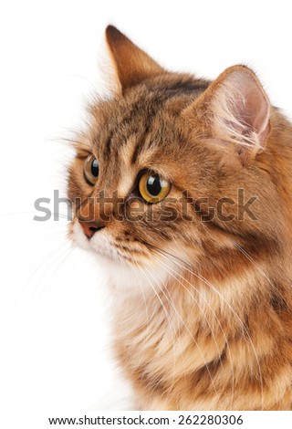 Portrait of a siberian beautiful adult cat isolated on a white background - stock photo
