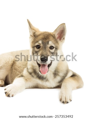 Portrait of a Siberian Husky puppy on a white background