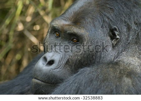 "Portrait of a silver back gorilla of the sub-species ""Eastern Lowland Gorilla"" (gorilla beringei graueri). Shot in wildlife (not a zoo-shot!) in the Eastern part of the Democratic Republic of Congo."