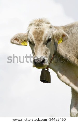 Portrait of a single white cow with a cowbell