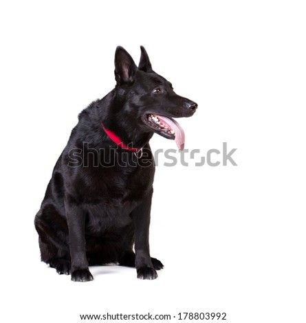 portrait of a sitting adult black german shepherd isolated on white - stock photo