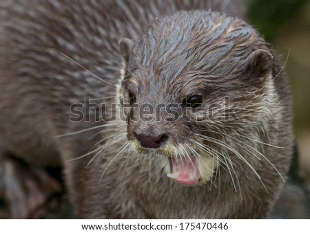 Portrait of a small-clawed or Asian otter, a cute predator from the Far East